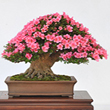 icon flowering evergreen1