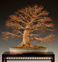 judging bonsai