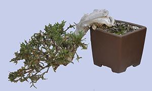 Cascade Forms Bonsai Bci