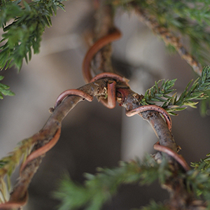 wiring bonsai bci rh bonsai bci com bonsai wiring techniques pdf Juniper Bonsai Tree