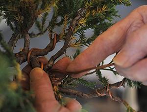 wiring bonsai bci rh bonsai bci com Juniper Bonsai Tree Bonsai Cutting Techniques