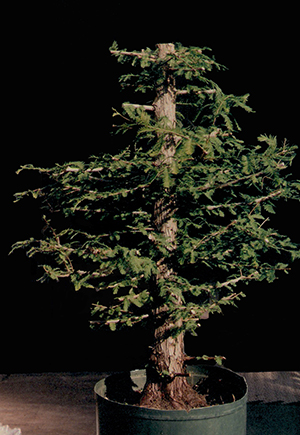 Bald Cypress Bonsai Bci