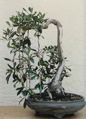 brain teasers bonsai bci rh bonsai bci com Bonsai Shapes Bonsai Wiring Tips