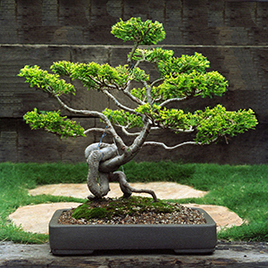 golden monterey cypress bonsai bci rh bonsai bci com Types of Bonsai Trees Weeping Willow Bonsai