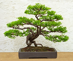 Golden Monterey Cypress Bonsai Bci