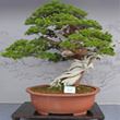 icon conifer evergreen1