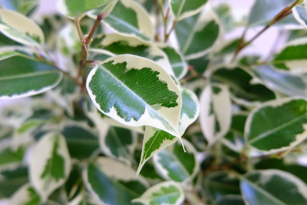 Ficus Neriifolia Regularis Salicifolia Bonsai Bci