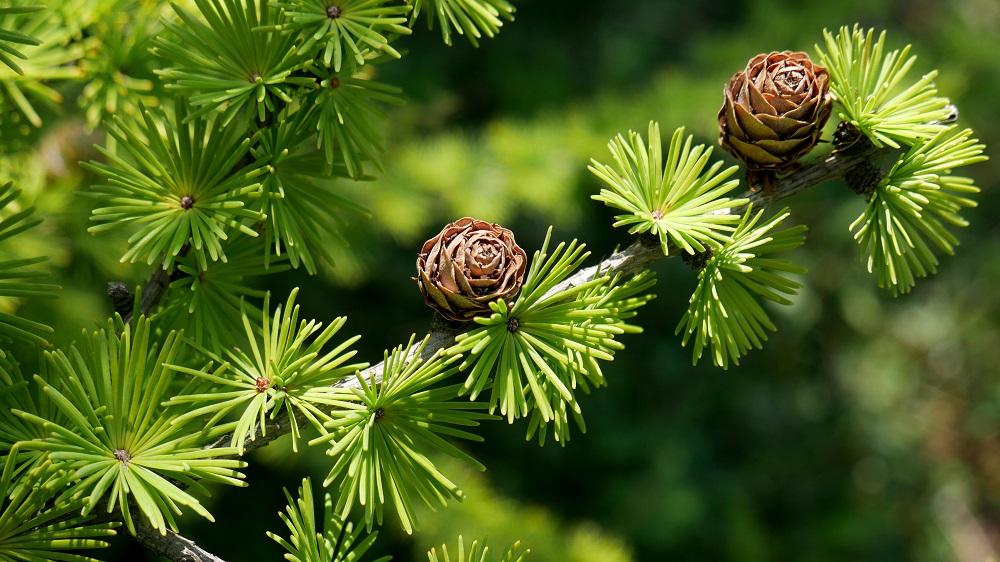 Deciduous Conifers Bonsai Bci