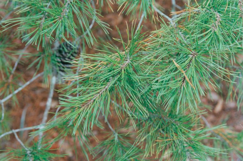Sand Pine Bonsai Bci