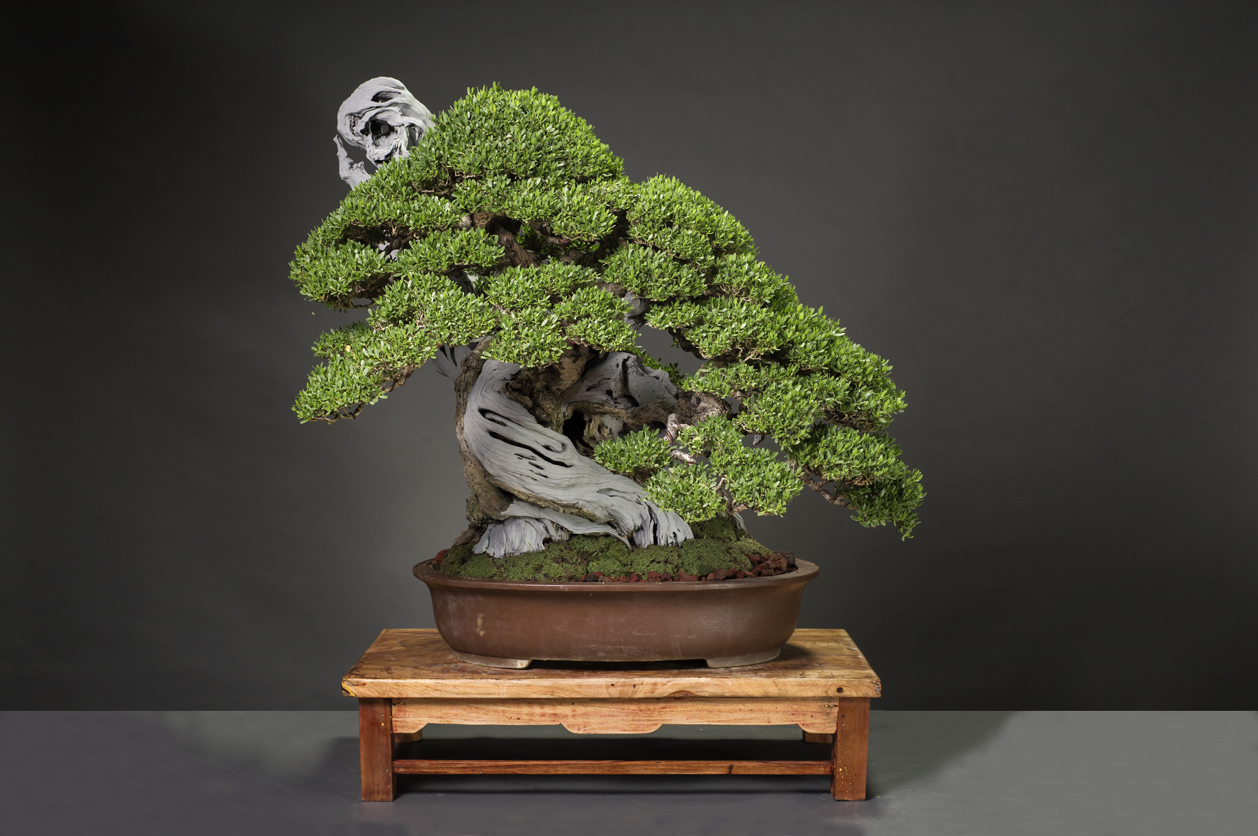 Bantigue Tree Bonsai Bci Wiring Lesson