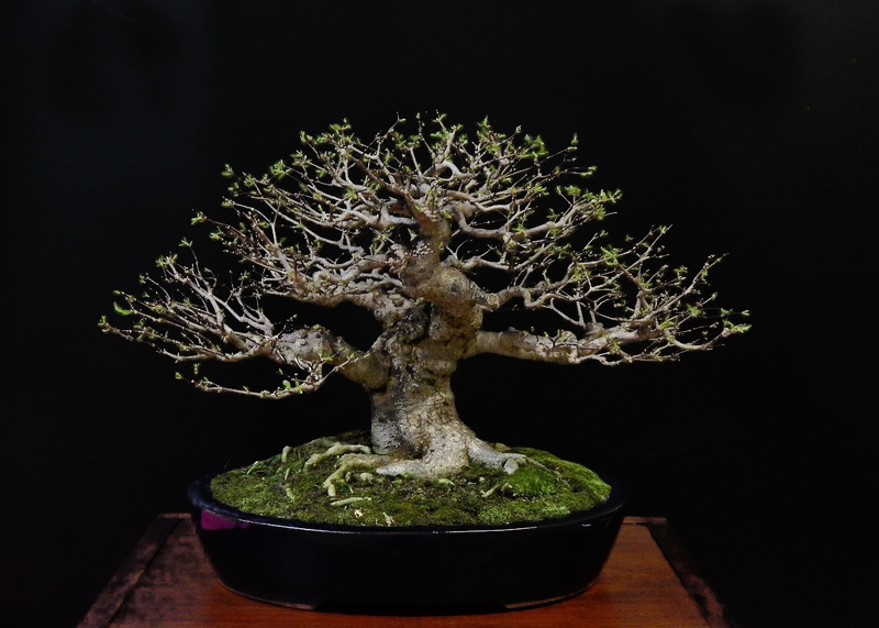 Carlos A Morales Collection Water Jasmine Wrightia Reliosa Bonsai Bci